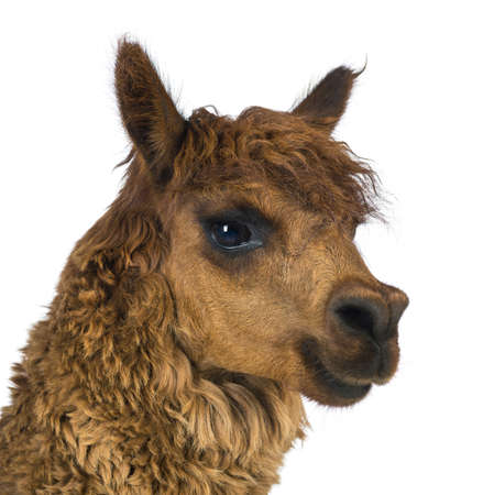 vicugna pacos: Close-up of Alpaca looking away against white background