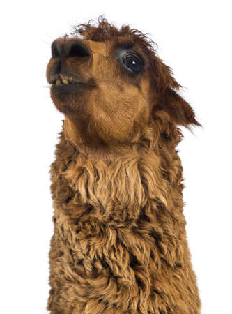 vicugna pacos: Close-up of Alpaca looking up against white background Stock Photo