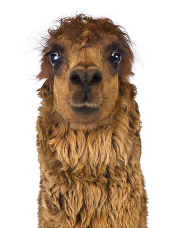 Front view Close-up of Alpaca against white background Stock Photo - 18179099