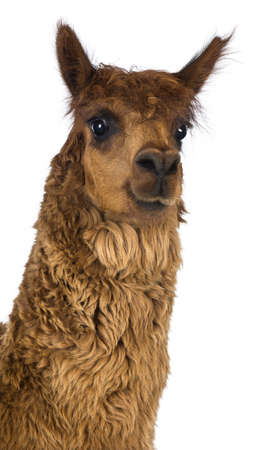 Close-up of Alpaca against white background Stock Photo - 18179090