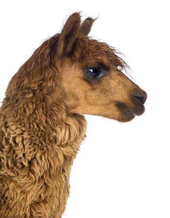 vicugna pacos: Side view Close-up of Alpaca against white background