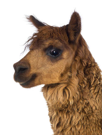 vicugna pacos: Close-up of Alpaca against white background