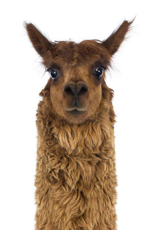 vicugna pacos: Front view Close-up of Alpaca against white background