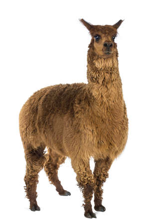 alpaca: Alpaca against white background Stock Photo
