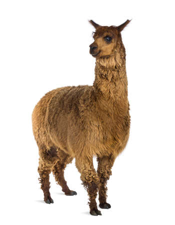 vicugna pacos: Alpaca against white background Stock Photo