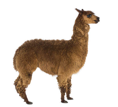 vicugna pacos: Side view of an Alpaca against white background