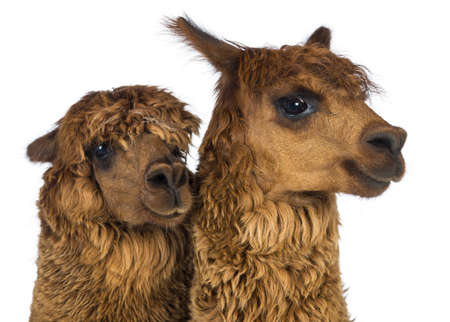 vicugna pacos: Close-up of Alpacas looking away against white background