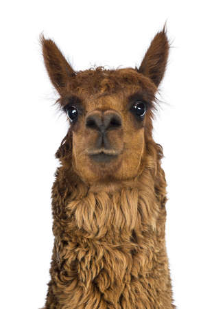Front view Close-up of Alpaca against white background photo
