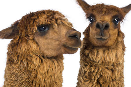 vicugna pacos: Close-up of Two Alpacas against white background