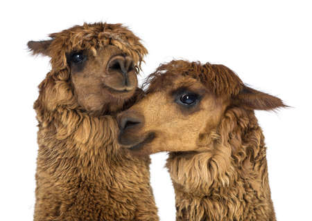 Close-up of Alpacas against white background Stock Photo - 18179089