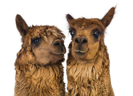 Close-up of two Alpacas, one is looking away and one is looking at camera against white background photo