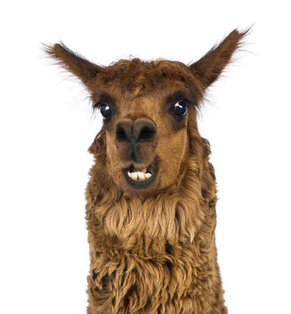 head shot: Close-up of Alpaca smiling against white background