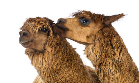 vicugna pacos: Alpaca biting another Alpacas ear against white background Stock Photo