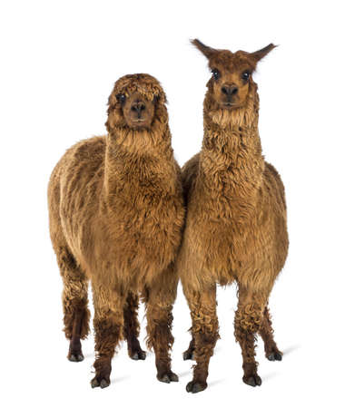 vicugna pacos: Two Alpacas looking at camera against white background
