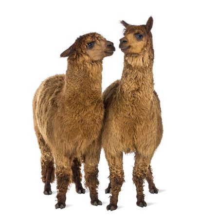 vicugna pacos: Two Alpacas looking at each other against white background Stock Photo