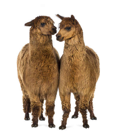 vicugna pacos: Two Alpacas against white background