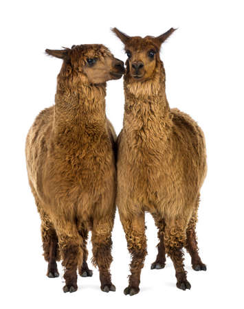 Two Alpacas, one is smiling and the other is looking at him against white background photo