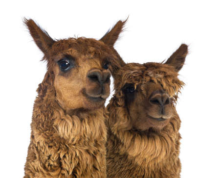 vicugna pacos: Close-up of Two Alpacas looking away and smiling against white background