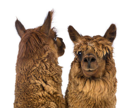 vicugna pacos: Close-up of Two Alpacas, one is looking back and the other is looking at camera against white background Stock Photo