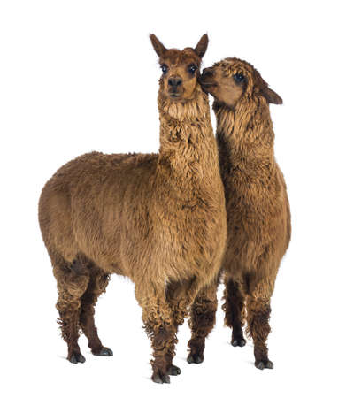 Alpaca whispering at another Alpacas ear against white background photo