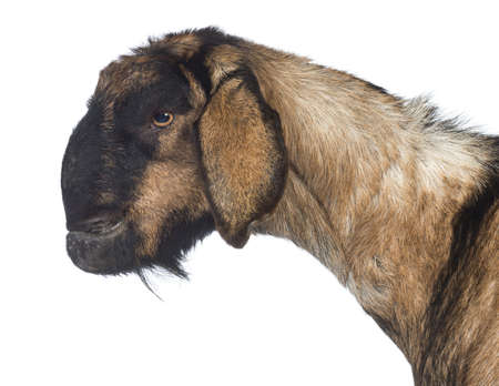 Side view Close-up of an Anglo-Nubian goat with a distorted jaw against white background photo