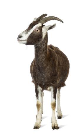 cabra: Cabra Toggenburg mirando hacia la izquierda contra el fondo blanco