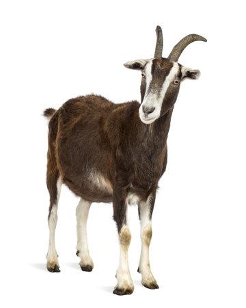 cabra: Cabra Toggenburg contra el fondo blanco