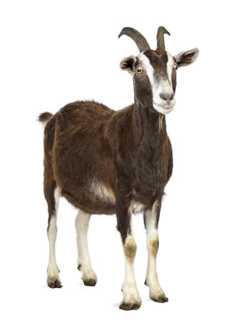 cabra: Cabra Toggenburg mirando a otro lado contra el fondo blanco