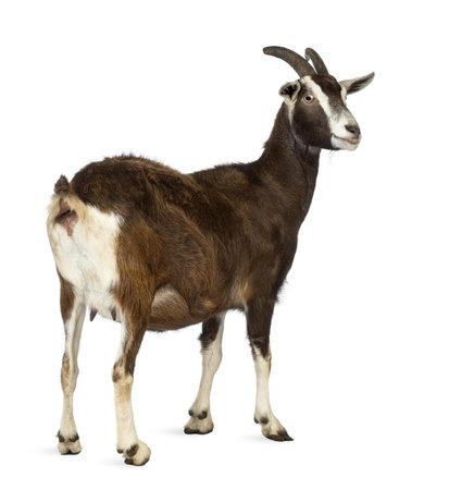 cabra: Vista trasera de una cabra Toggenburg mirando a otro lado contra el fondo blanco