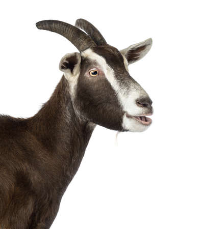bleating: Close-up of a Toggenburg goat bleating against white background