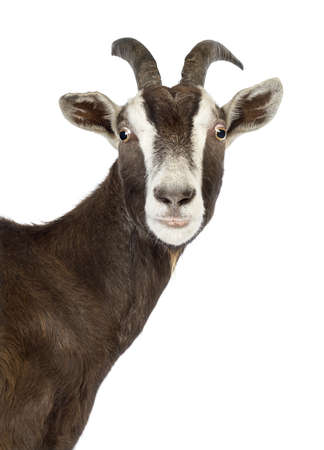 goat horns: Close-up of a Toggenburg goat looking at camera against white background Stock Photo