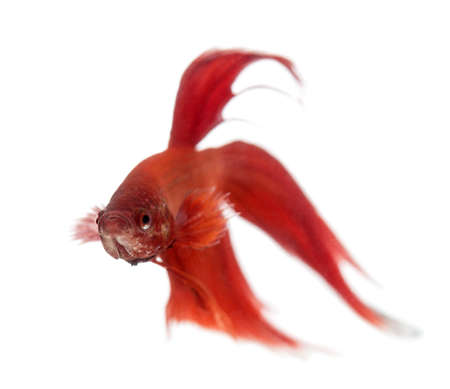 a freshwater fish: Siamese fighting fish, Betta splendens, against white background