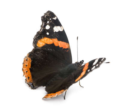 admiral: Old, damaged Red Admiral butterfly, Vanessa atalanta, against white background Stock Photo