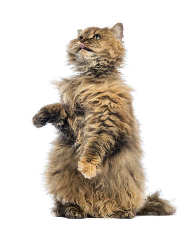 upright: Selkirk Rex, 5 months old, standing on hind legs and reaching, licking against white background