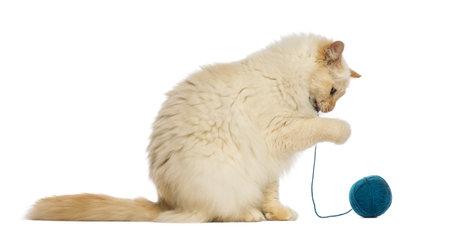 gato jugando: Birman sentado y jugando con ovillo de lana contra el fondo blanco