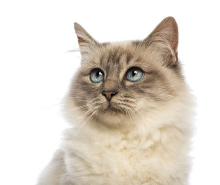 gray eyes: Close-up of a Birman looking up  against white background