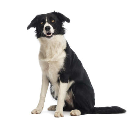 collie: Border Collie, 8 months old, sitting and looking up in front of white background Stock Photo