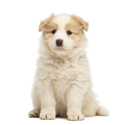 Border Collie puppy, 6 weeks old, sitting in front of white background photo