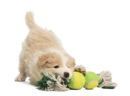 dogs playing: Cachorro Border Collie, 6 semanas de edad, jugando con un perro de juguete delante de fondo blanco