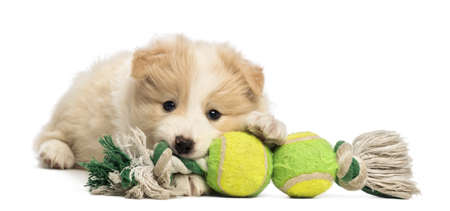 Border Collie puppy, 6 weeks old, lying and playing with a dog toy in front of white background photo