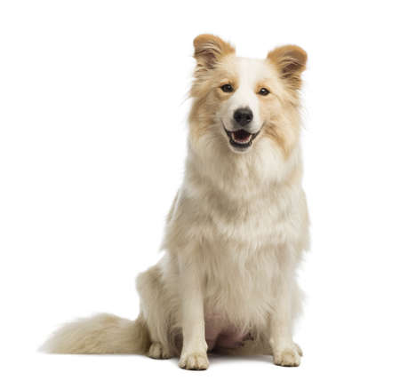 Border Collie, 2,5 ans, assis et regardant la cam�ra en face de fond blanc photo