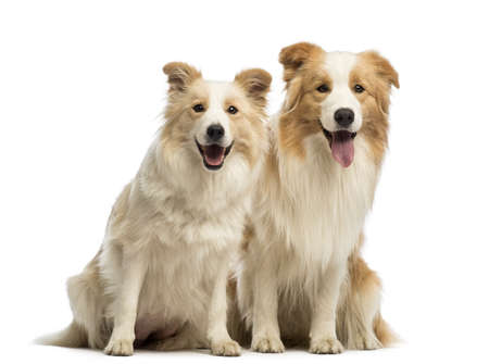 border collie: Male and female Border Collie, 1.5 years old and 2.5 years old, sitting, panting and looking at the camera in front of white background Stock Photo