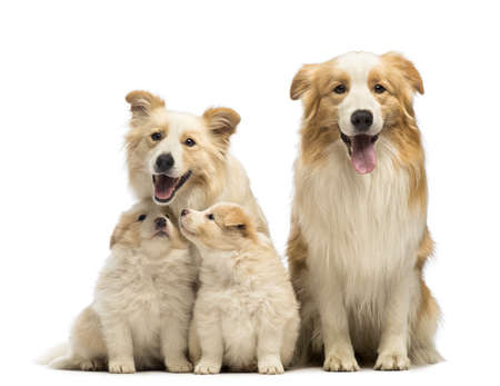 Border collie famille, le p�re, la m�re et les chiots, assis en face de fond blanc photo
