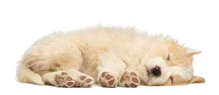 Border Collie puppy, 6 weeks old, lying and sleeping in front of white background photo