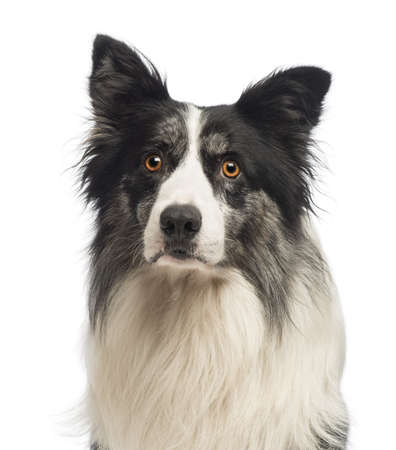Gros plan d'un Border Collie, 8,5 ans, en face de fond blanc photo