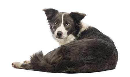 Rear view of a Border Collie, 8 months old, lying and looking at the camera in front of white background photo