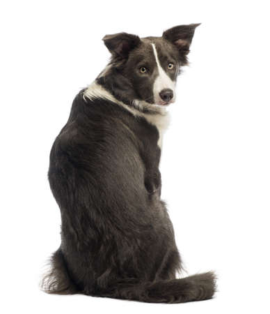 Rear view of a Border Collie, 8 months old, looking back at the camera in front of white background photo