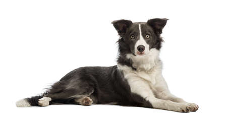 Border Collie, 8 mois, couch� et en regardant la cam�ra en face de fond blanc photo