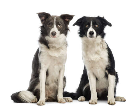 collies: Two border Collies, 8 months old, sitting and looking at the camera in front of white background Stock Photo