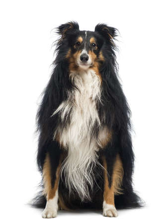 Shetland Sheepdog, 4 years old, sitting and looking at the camera in front of white background photo